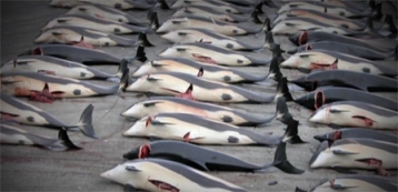 Dead dolphins after hunting